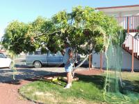 Backyard Bonzai Fruit Trees | Yakima County | Washington ...