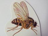 C'est quoi une drosophile?