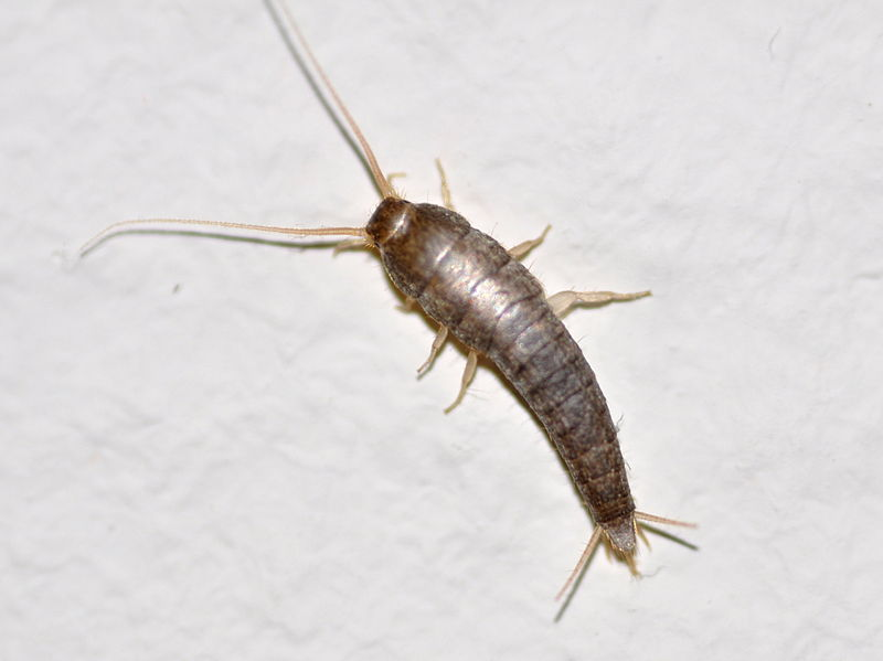 Silverfish Larvae - Cover Letter Resume Ideas - wppluginninja us