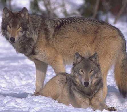 (canis lupus ligoni), relativ kleine, kurzhaarige wolfsart mit dunklem fell (schwarz mit grauer unterwolle). Cascade Mountain Wolf Extinct Animals Database