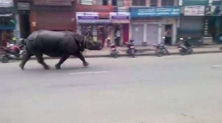 Rinoceronte desfila por cidade do Nepal
