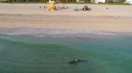Tubarão estava perto da areia
