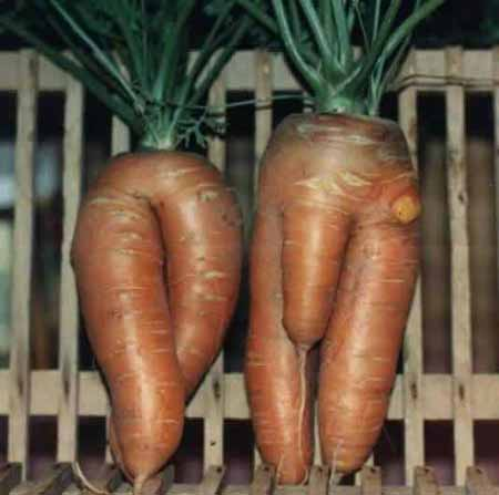 Carrot with dick