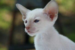 kissanpentuvalkoinen