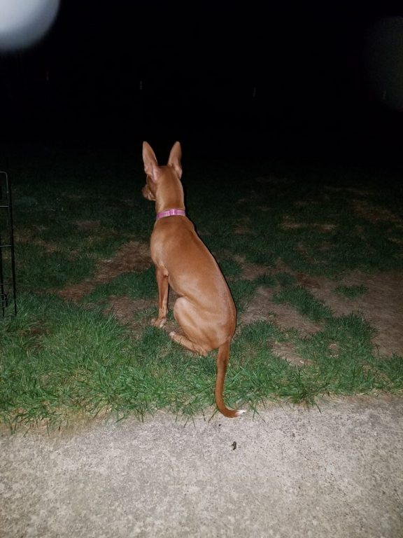 Bernice, as a puppy, sitting outside at night, seen from behind.