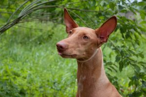 Pharaoh Hound with an outdoor nature background.