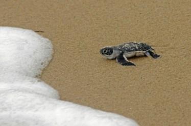 Turtle Hatching, Pangani