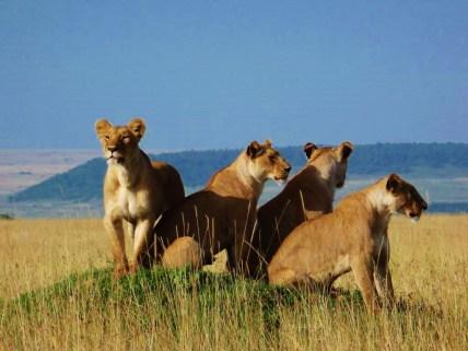 Lionesses near Il Moran Masai Mara