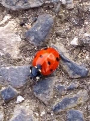 A Lovely Little Ladybird