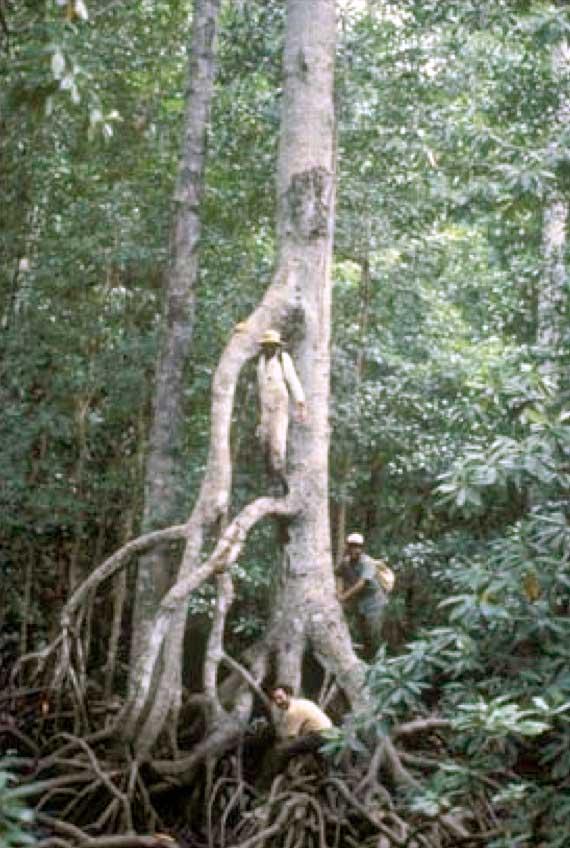 Papua_New_Guinea_Rhizophora_prop_roots_sm
