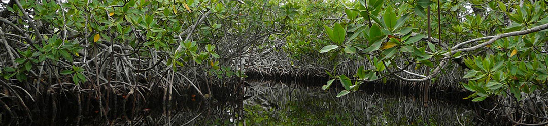 mangroves-header