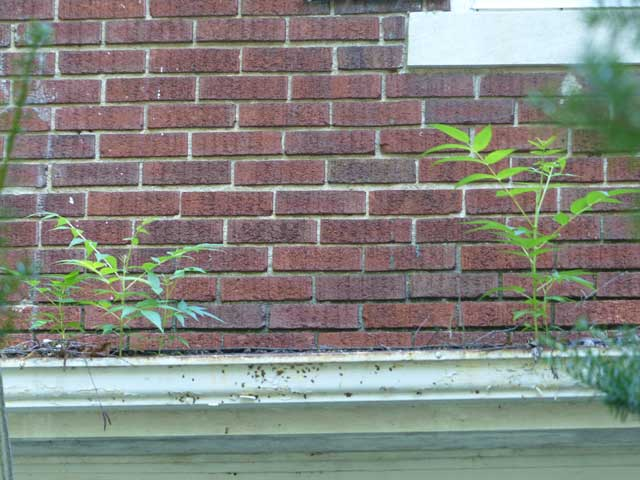 Ailanthis_altissima_Gutters-1