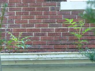 Ailanthus altissima in a quite full gutter.