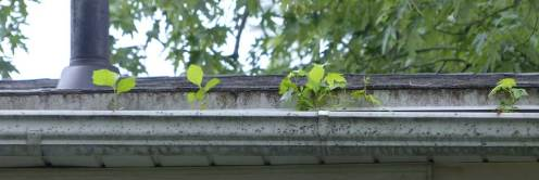 Platanus occidentalis (Sycamore) and Liquidambar styraciflua (sweetgum) in rain gutter.