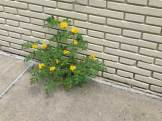 Solanum rostratum growing in the joint where sidewalk meets building, New York City
