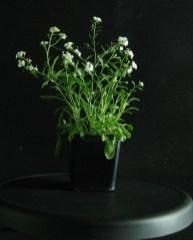 Arabidopsis arenosa from Zn waste heap. Photo from Ewa Maria Przedpełska-Wąsowicz
