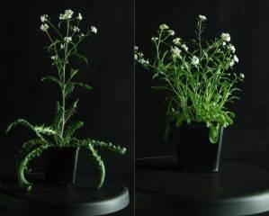 Common garden Arabidopsis arenosa. Left - from national park (no Zn), Right – from Zn waste heap. Photo from Ewa Maria Przedpełska-Wąsowicz