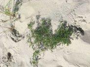 Solanum dulcamara growing on sand