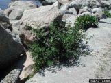 Solanum dulcamara growing on rocks. Photo by Leslie J. Mehrhoff, University of Connecticut, Bugwood.org
