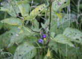 Solanum dulcamara showing herbivory damage (Norway). Photo by Arild Espelien