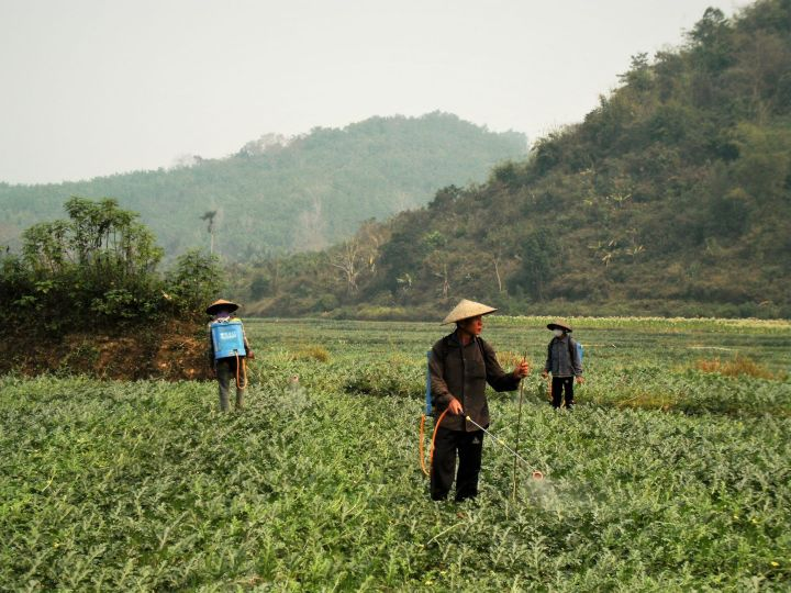 Campo de sandías en Laos