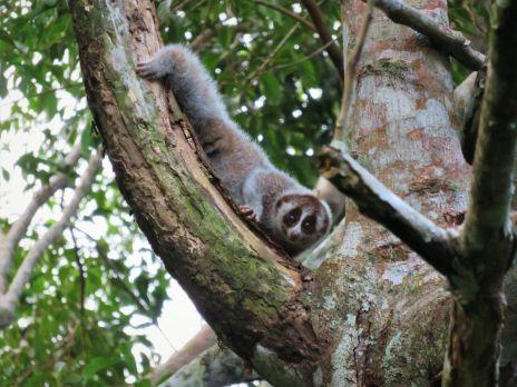 Nycticebus, Borneo