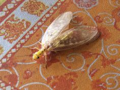 Insecto volador, Borneo