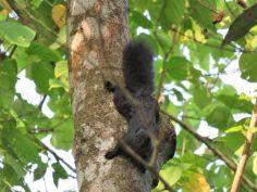 Ardilla, Borneo