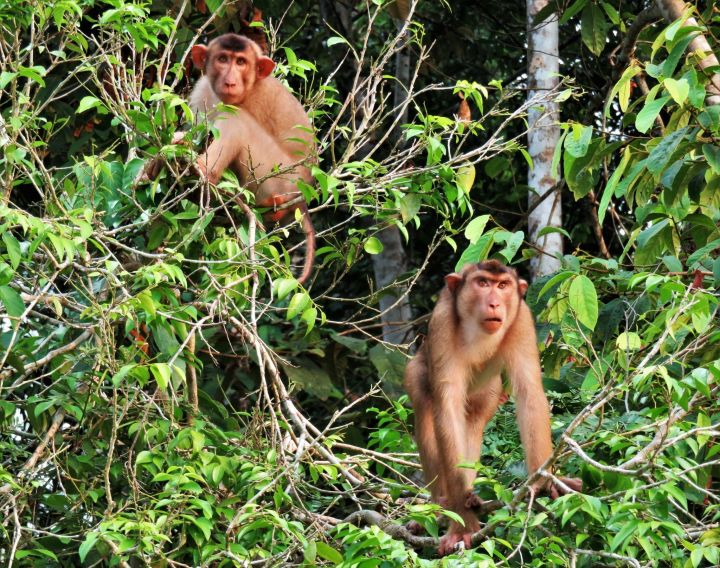 Pareja de monos, Borneo