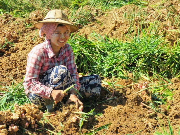 Gingseng, Kalaw, Myanmar