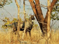 Nilgó o toro azul, Panna Tiger Reserve, Khajuraho, India