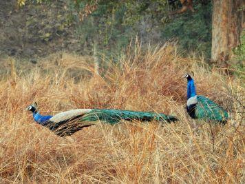 Pavos reales, Panna Tiger Reserve, Khajuraho, India