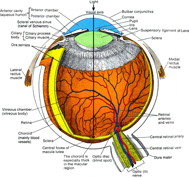 human eye diagram blind spot 200 amp service wiring about the new york cancer center
