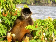 A Spider monkey sits in the tree waiting to be fed by tourists