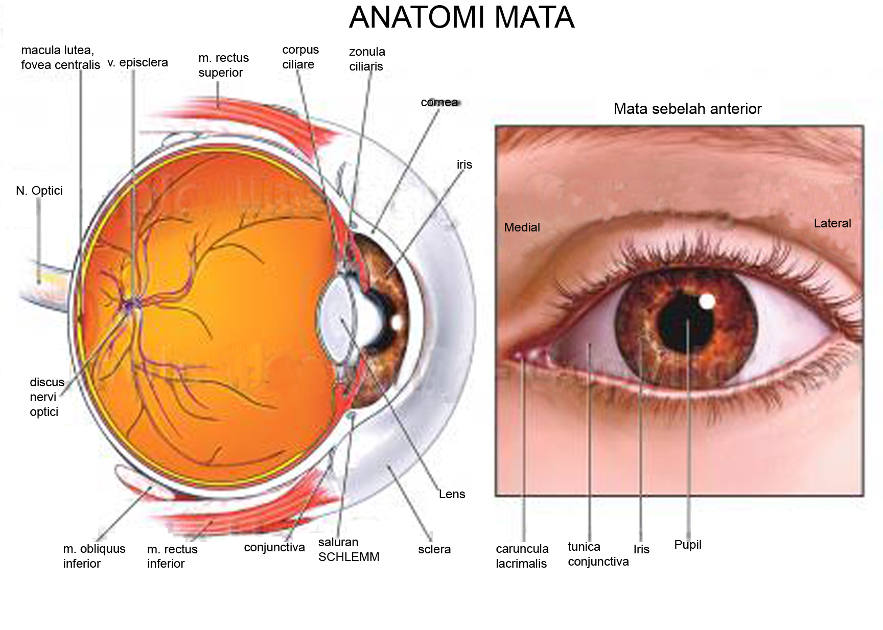 conjunctiva human eye anatomy diagram 2006 f150 5 4 wiring anatomi mata  the si gh t