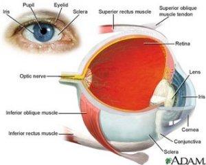Human Eye Anatomy Description – The Eye Si(gh)t