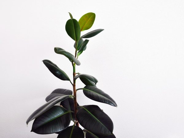 rubber plant, plant in bedroom, bedroom plants