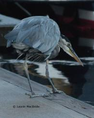 Great blue heron fishing off dock