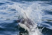 Dall Porpoise slicing through the water