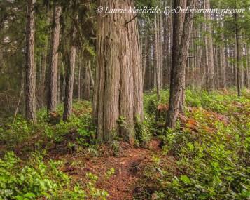 Redcedar and fir forest
