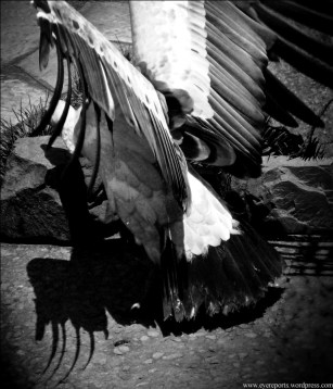 BW griffin vulture (2)