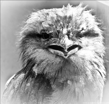 BW tawny frogmouth
