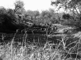 impala herd in dry river bed