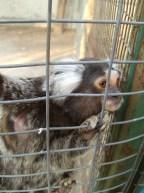 marmoset