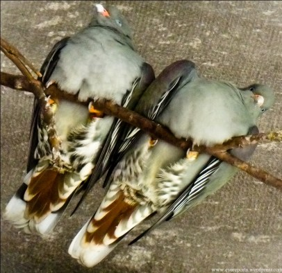 doves bums