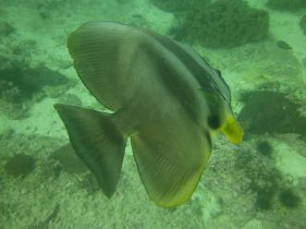 Banded Butterfly Fish, Gulf of Oman.
