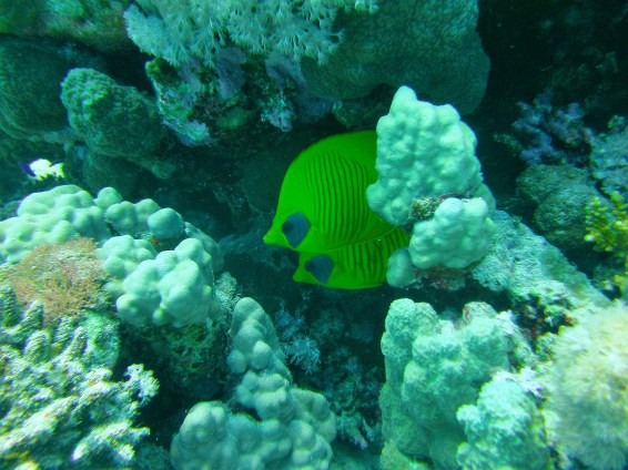 Masked Butterfly Fish, Red Sea Egypt