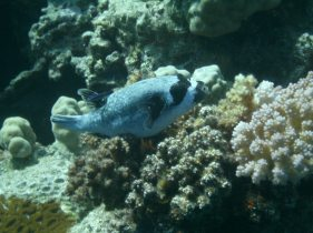 Masked Puffer Fish, Red Sea Egypt