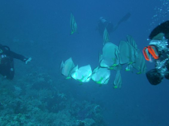 Tiera Bat Fish Red Sea Egypt
