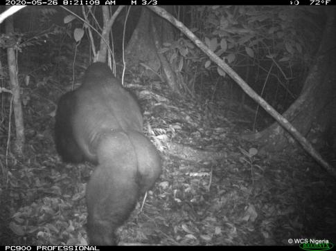 Cross River Silverback gorilla - WSC camera trap